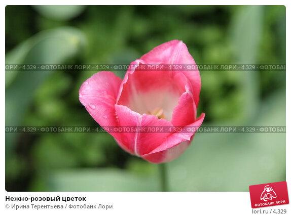 Нежно-розовый цветок, эксклюзивное фото № 4329, снято 29 мая 2006 г. (c) Ирина Терентьева / Фотобанк Лори
