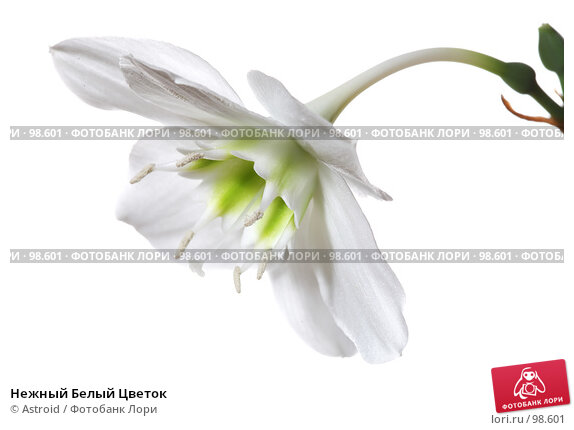 Купить «Нежный Белый Цветок», фото № 98601, снято 28 апреля 2007 г. (c) Astroid / Фотобанк Лори