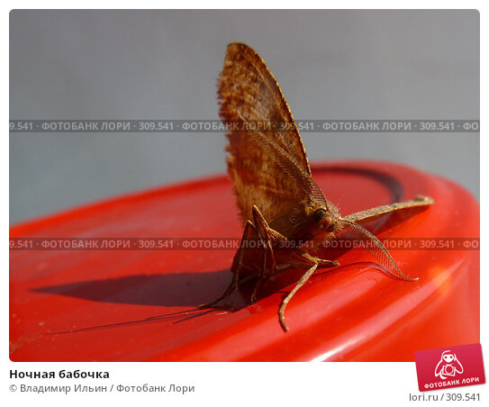 Ночная бабочка, фото № 309541, снято 4 июня 2008 г. (c) Владимир Ильин / Фотобанк Лори