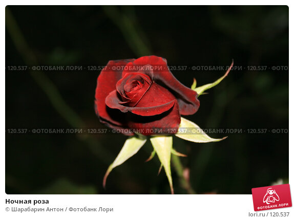 Ночная роза, фото № 120537, снято 16 ноября 2007 г. (c) Шарабарин Антон / Фотобанк Лори