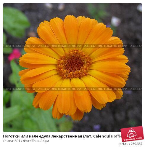 Ноготки или календула лекарственная (лат. Calendula officinalis), эксклюзивное фото № 230337, снято 13 июля 2007 г. (c) lana1501 / Фотобанк Лори