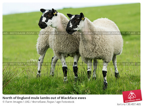 North of England mule lambs out of Blackface ewes. Стоковое фото, фотограф Farm Images \ UIG / age Fotostock / Фотобанк Лори