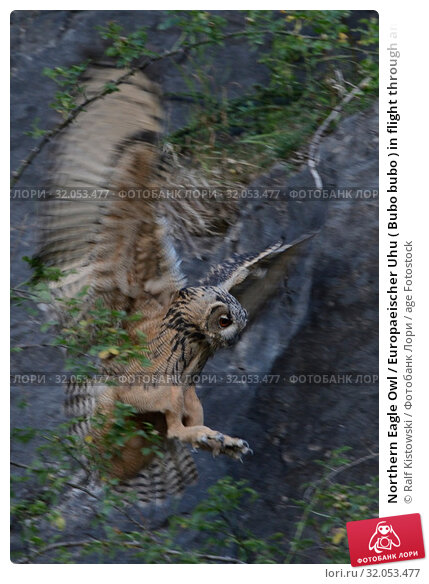 Northern Eagle Owl / Europaeischer Uhu ( Bubo bubo ) in flight through an old quarry, landing on rocks, low light shot, wildlife.. Стоковое фото, фотограф Ralf Kistowski / age Fotostock / Фотобанк Лори