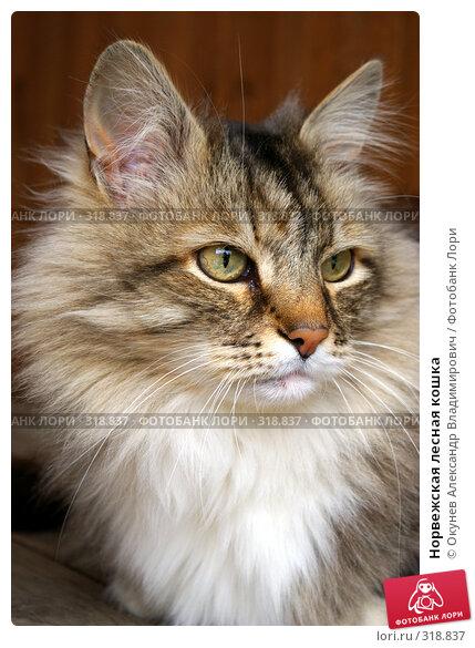 Норвежская лесная кошка, фото № 318837, снято 8 июня 2008 г. (c) Окунев Александр Владимирович / Фотобанк Лори