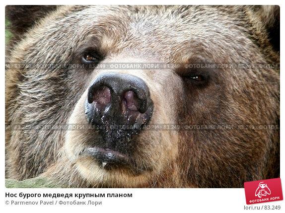 Нос бурого медведя крупным планом, фото № 83249, снято 27 июня 2007 г. (c) Parmenov Pavel / Фотобанк Лори