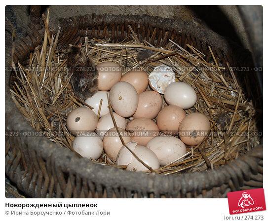 Новорожденный цыпленок, фото № 274273, снято 17 июня 2007 г. (c) Ирина Борсученко / Фотобанк Лори