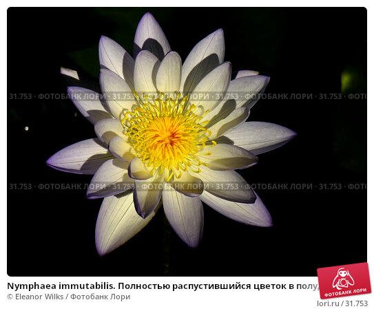 Купить «Nymphaea immutabilis. Полностью распустившийся цветок в полуденном солнце.», фото № 31753, снято 8 апреля 2007 г. (c) Eleanor Wilks / Фотобанк Лори