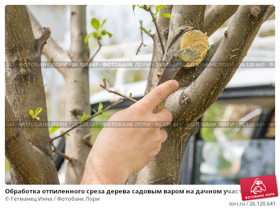 Купить «Обработка отпиленного среза дерева садовым варом на дачном участке», фото № 26120641, снято 30 апреля 2017 г. (c) Гетманец Инна / Фотобанк Лори