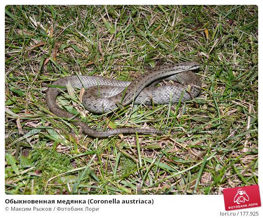 Обыкновенная медянка (Coronella austriaca), фото № 177925, снято 12 сентября 2007 г. (c) Максим Рыжов / Фотобанк Лори