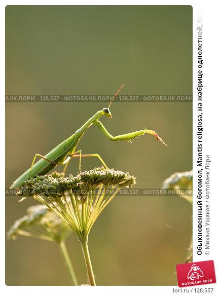 Обыкновенный богомол, Mantis religiosa, на жабрице однолетней, Seseli annuum, фото № 128557, снято 24 августа 2007 г. (c) Михаил Ушаков / Фотобанк Лори