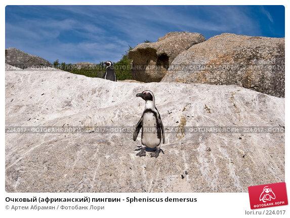 Очковый (африканский) пингвин - Spheniscus demersus, фото № 224017, снято 2 февраля 2008 г. (c) Артем Абрамян / Фотобанк Лори
