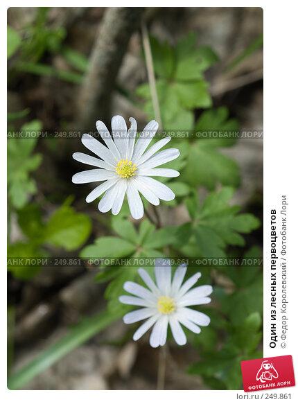 Один из лесных первоцветов, фото № 249861, снято 12 апреля 2008 г. (c) Федор Королевский / Фотобанк Лори