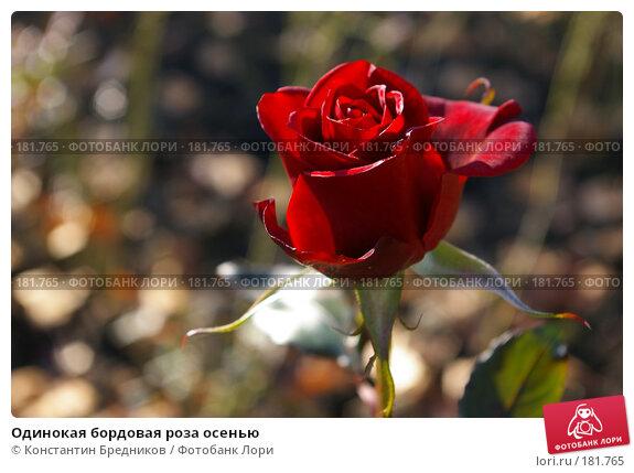 Одинокая бордовая роза осенью, фото № 181765, снято 15 октября 2006 г. (c) Константин Бредников / Фотобанк Лори