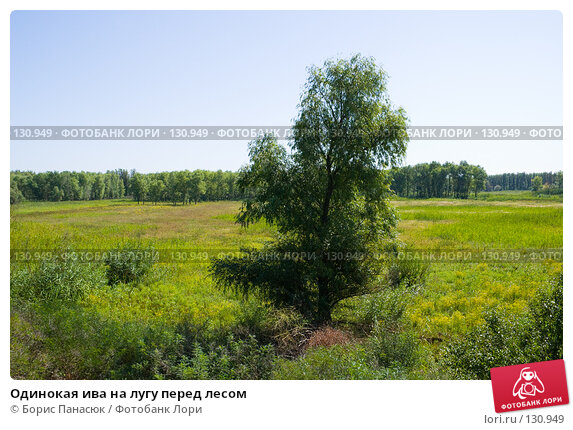 Одинокая ива на лугу перед лесом, фото № 130949, снято 17 августа 2007 г. (c) Борис Панасюк / Фотобанк Лори