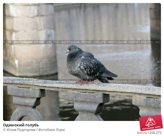 Одинокий голубь, фото № 256273, снято 17 апреля 2008 г. (c) Юлия Селезнева / Фотобанк Лори
