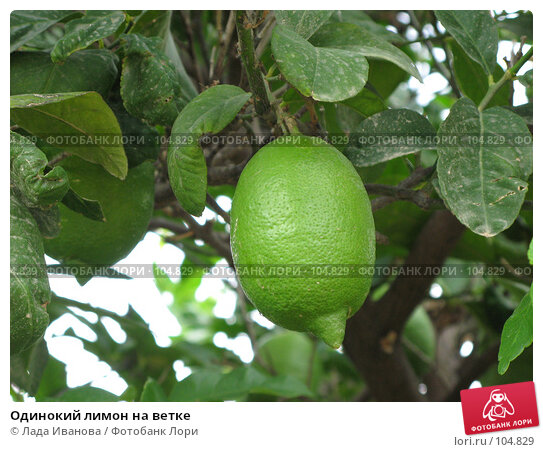 Одинокий лимон на ветке, фото № 104829, снято 26 октября 2016 г. (c) Лада Иванова / Фотобанк Лори