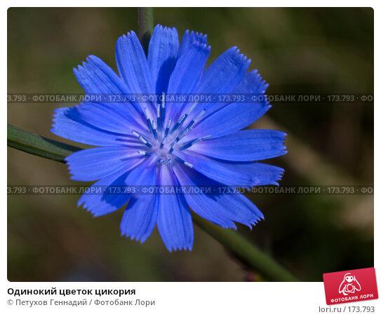 Одинокий цветок цикория, фото № 173793, снято 24 июня 2007 г. (c) Петухов Геннадий / Фотобанк Лори