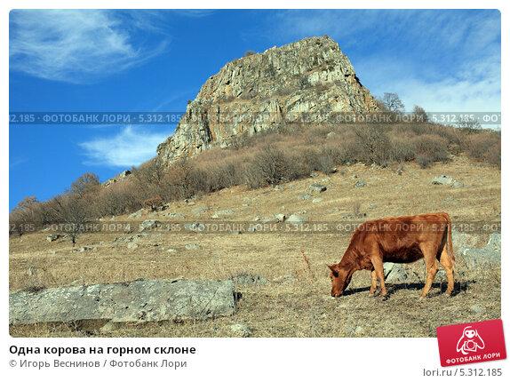 Купить «Одна корова на горном склоне», фото № 5312185, снято 22 ноября 2013 г. (c) Игорь Веснинов / Фотобанк Лори