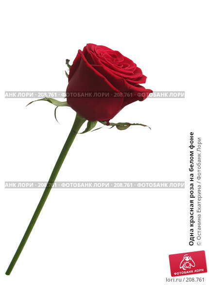 Одна красная роза на белом фоне, фото № 208761, снято 15 января 2008 г. (c) Останина Екатерина / Фотобанк Лори