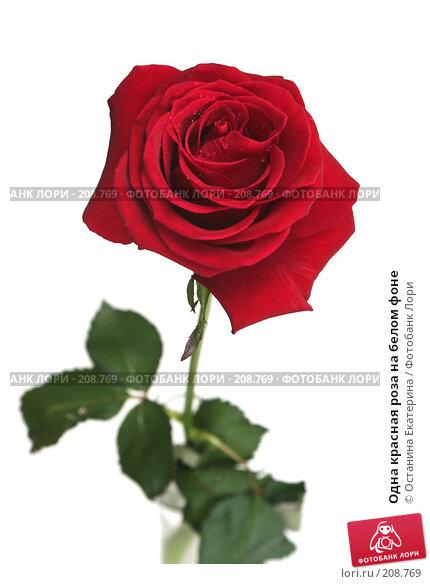Одна красная роза на белом фоне, фото № 208769, снято 15 января 2008 г. (c) Останина Екатерина / Фотобанк Лори