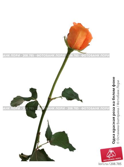 Одна красная роза на белом фоне, фото № 208785, снято 27 января 2008 г. (c) Останина Екатерина / Фотобанк Лори