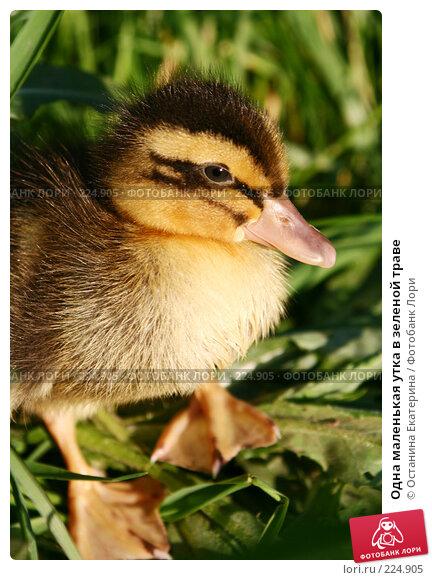 Одна маленькая утка в зеленой траве, фото № 224905, снято 25 мая 2007 г. (c) Останина Екатерина / Фотобанк Лори