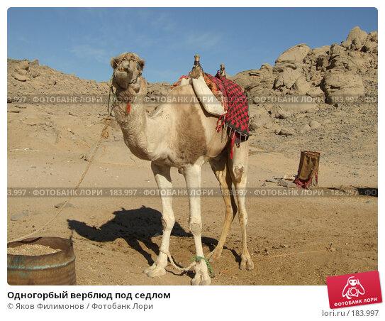 Купить «Одногорбый верблюд под седлом», фото № 183997, снято 13 января 2008 г. (c) Яков Филимонов / Фотобанк Лори
