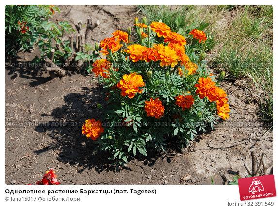 Купить «Однолетнее растение Бархатцы (лат. Tagetes)», эксклюзивное фото № 32391549, снято 17 июля 2010 г. (c) lana1501 / Фотобанк Лори