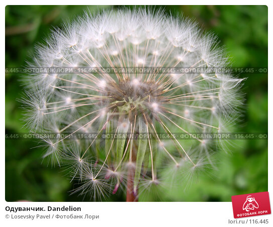 Купить «Одуванчик. Dandelion», фото № 116445, снято 14 июня 2003 г. (c) Losevsky Pavel / Фотобанк Лори