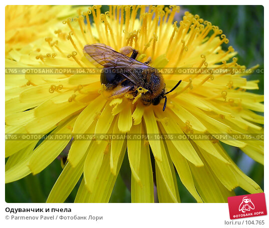 Одуванчик и пчела, фото № 104765, снято 23 января 2017 г. (c) Parmenov Pavel / Фотобанк Лори