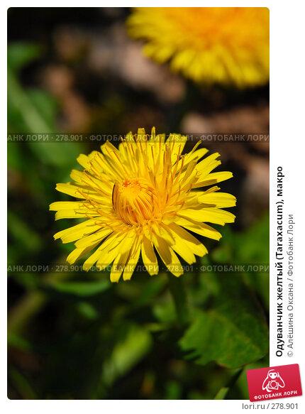 Одуванчик желтый (Taraxacum), макро, эксклюзивное фото № 278901, снято 8 мая 2008 г. (c) Алёшина Оксана / Фотобанк Лори