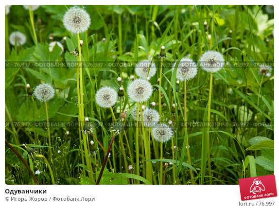Одуванчики, фото № 76997, снято 17 июня 2007 г. (c) Игорь Жоров / Фотобанк Лори