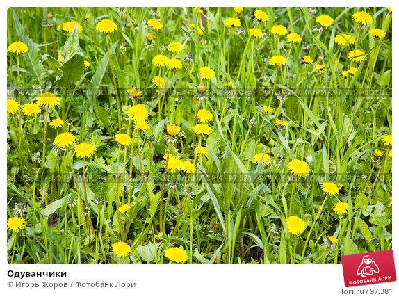 Одуванчики, фото № 97381, снято 31 мая 2007 г. (c) Игорь Жоров / Фотобанк Лори