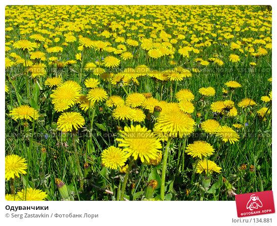 Одуванчики, фото № 134881, снято 20 мая 2005 г. (c) Serg Zastavkin / Фотобанк Лори