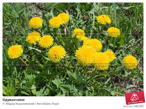 Купить «Одуванчики», фото № 249901, снято 12 апреля 2008 г. (c) Федор Королевский / Фотобанк Лори