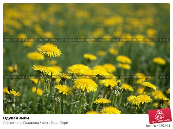 Одуванчики, фото № 255921, снято 19 мая 2007 г. (c) Cветлана Гладкова / Фотобанк Лори