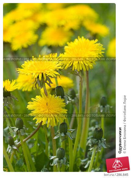 Одуванчики, фото № 286845, снято 13 мая 2008 г. (c) Елена Блохина / Фотобанк Лори