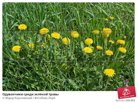 Одуванчики среди зелёной травы, фото № 249893, снято 12 апреля 2008 г. (c) Федор Королевский / Фотобанк Лори