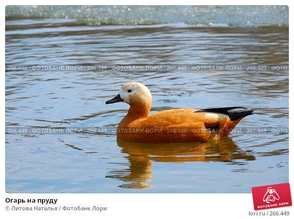 Огарь на пруду, фото № 266449, снято 6 апреля 2008 г. (c) Литова Наталья / Фотобанк Лори