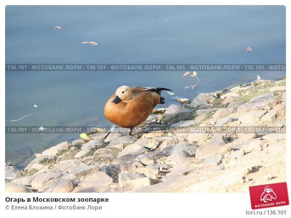 Огарь в Московском зоопарке, фото № 136101, снято 2 октября 2007 г. (c) Елена Блохина / Фотобанк Лори