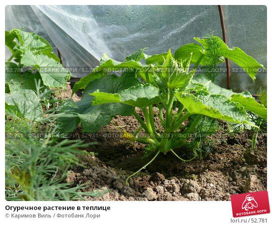 Огуречное растение в теплице, фото № 52781, снято 11 июня 2007 г. (c) Каримов Виль / Фотобанк Лори
