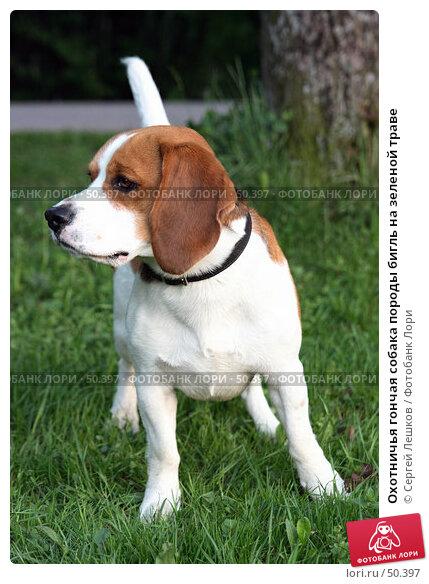 Охотничья гончая собака породы бигль на зеленой траве, фото № 50397, снято 18 мая 2007 г. (c) Сергей Лешков / Фотобанк Лори