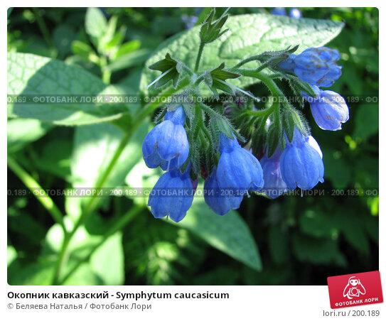 Купить «Окопник кавказский - Symphytum caucasicum», фото № 200189, снято 16 июня 2007 г. (c) Беляева Наталья / Фотобанк Лори