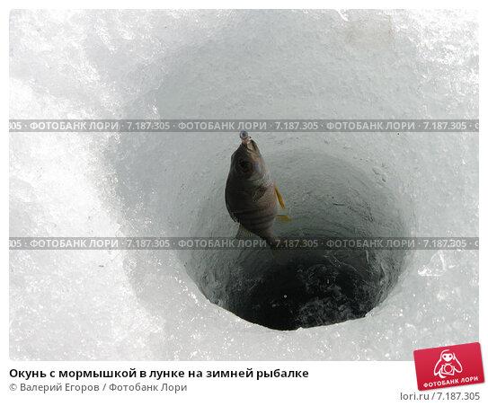 Купить «Окунь с мормышкой в лунке на зимней рыбалке», фото № 7187305, снято 22 марта 2015 г. (c) Валерий Егоров / Фотобанк Лори