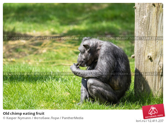 Купить «Old chimp eating fruit», фото № 12411237, снято 18 апреля 2019 г. (c) PantherMedia / Фотобанк Лори