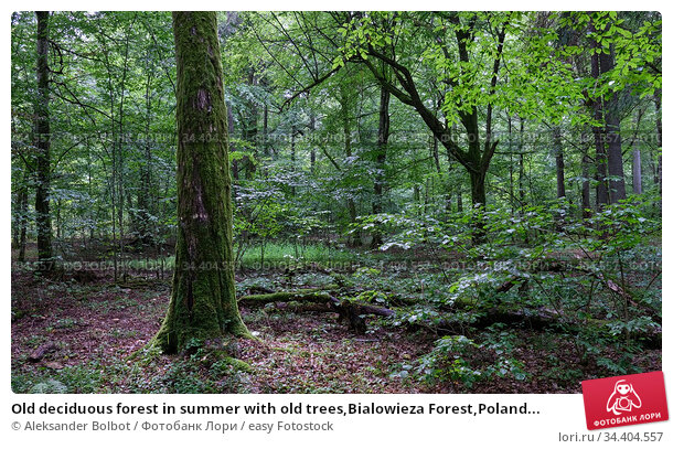 Old deciduous forest in summer with old trees,Bialowieza Forest,Poland... Стоковое фото, фотограф Aleksander Bolbot / easy Fotostock / Фотобанк Лори
