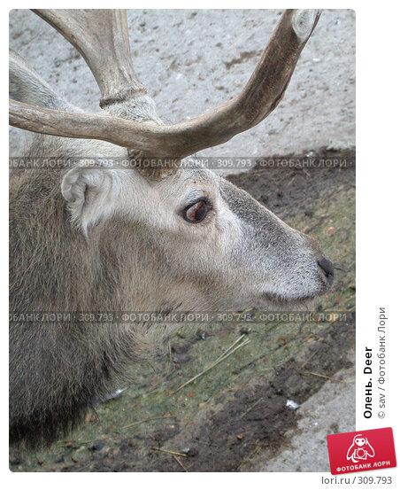 Олень. Deer, фото № 309793, снято 2 октября 2005 г. (c) sav / Фотобанк Лори