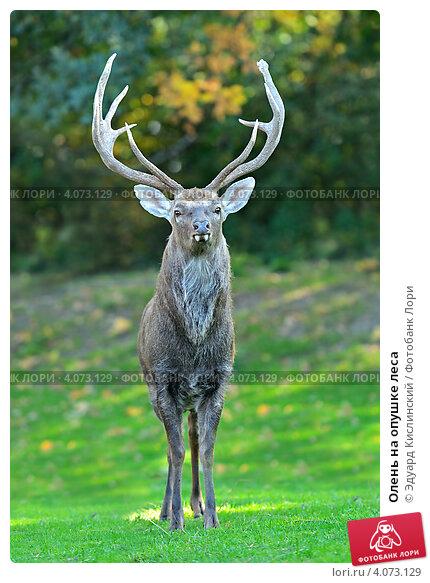 Купить «Олень на опушке леса», фото № 4073129, снято 30 сентября 2012 г. (c) Эдуард Кислинский / Фотобанк Лори