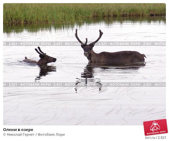 Купить «Олени в озере», фото № 2921, снято 14 августа 2005 г. (c) Николай Гернет / Фотобанк Лори