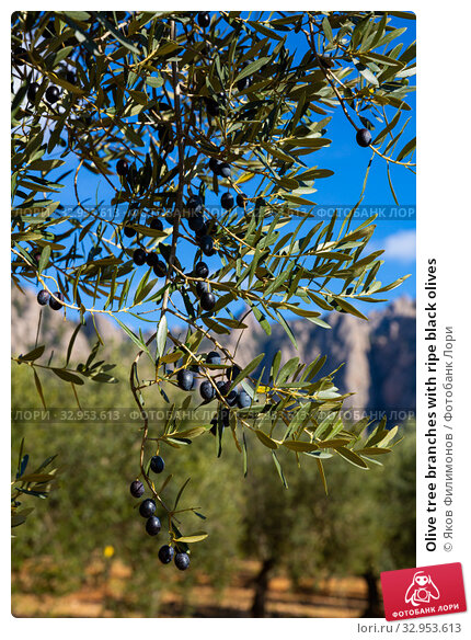 Olive tree branches with ripe black olives. Стоковое фото, фотограф Яков Филимонов / Фотобанк Лори